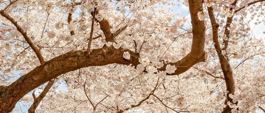 华盛顿樱花节,盛开的季节_图1-7