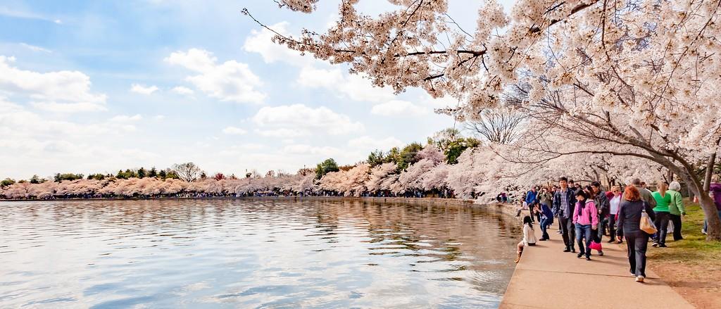 华盛顿樱花节,盛开的季节_图1-14
