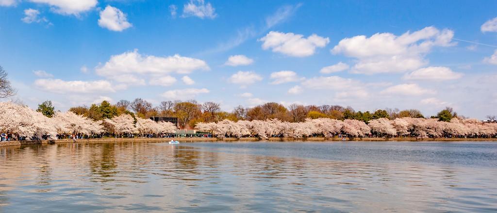 华盛顿樱花节,盛开的季节_图1-15