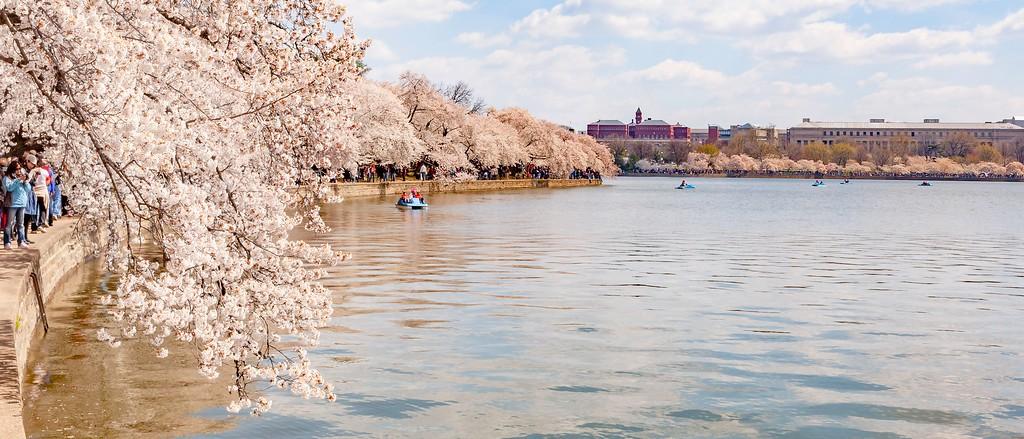 华盛顿樱花节,盛开的季节_图1-21