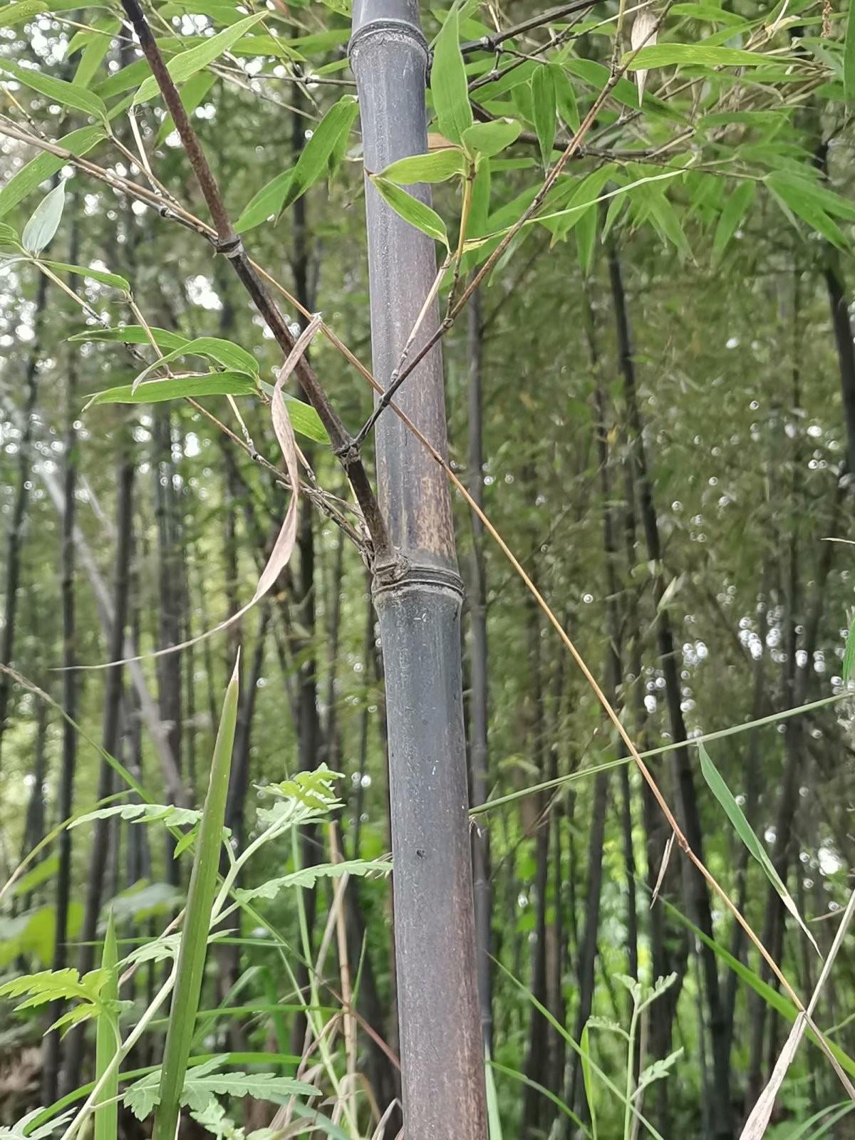 苏家老头哪里逃,黑色竹子找到了,罚你老酒三斗碗,快来了断别讨饶 ..._图1-1