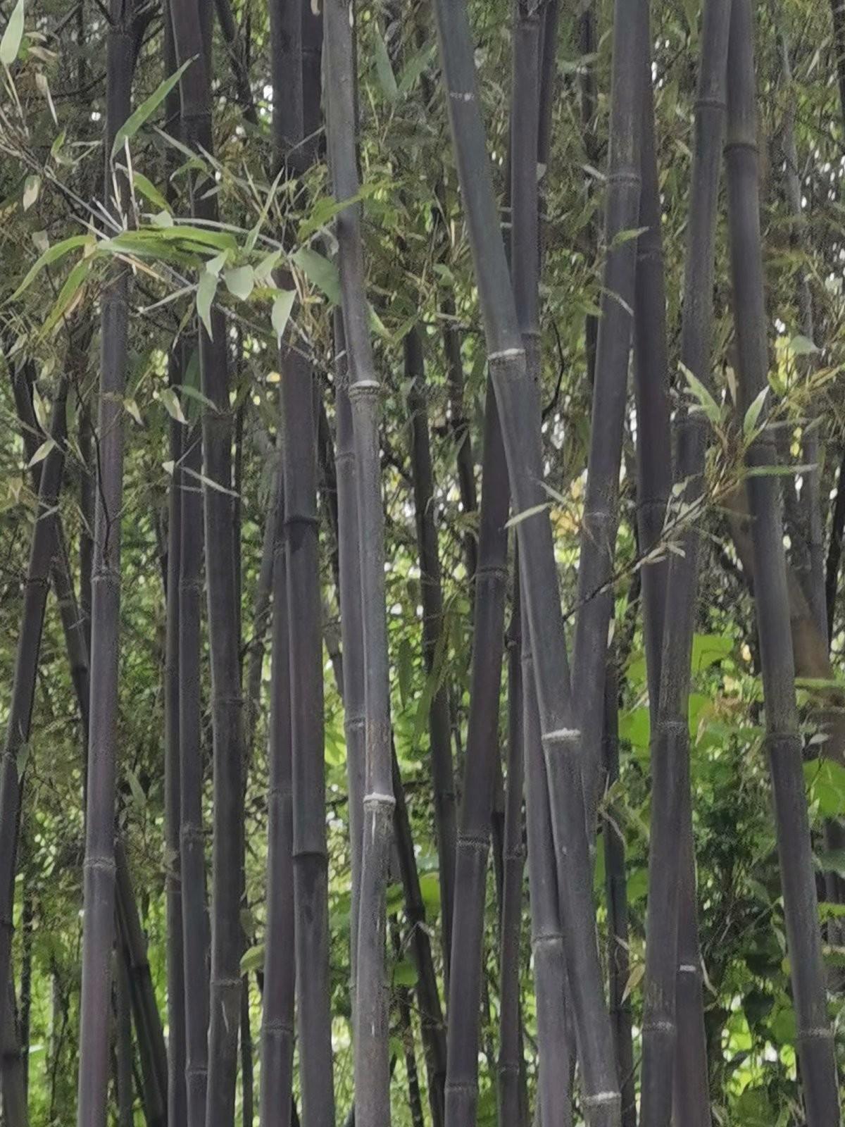 苏家老头哪里逃,黑色竹子找到了,罚你老酒三斗碗,快来了断别讨饶 ..._图1-2
