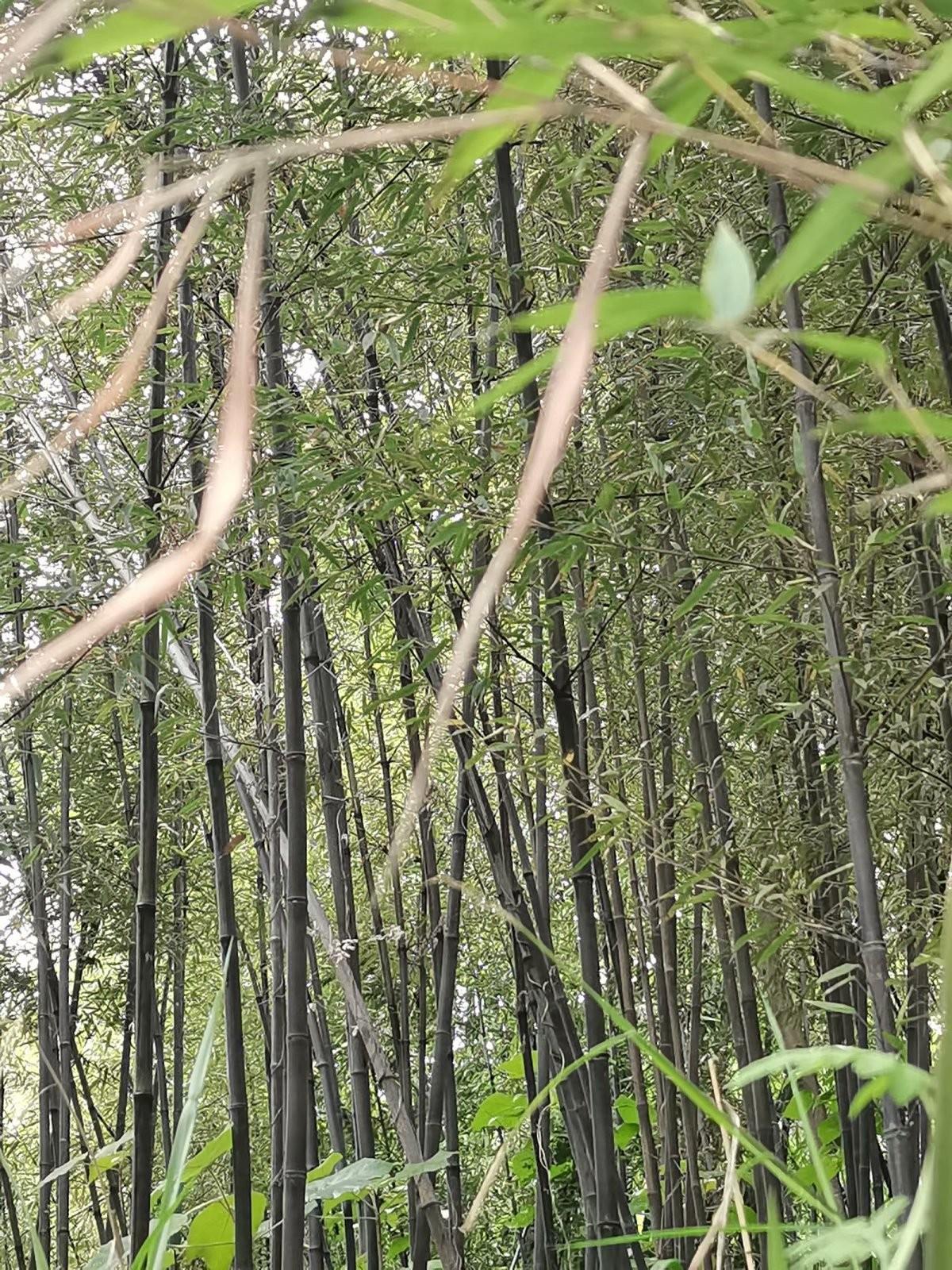 苏家老头哪里逃,黑色竹子找到了,罚你老酒三斗碗,快来了断别讨饶 ..._图1-4