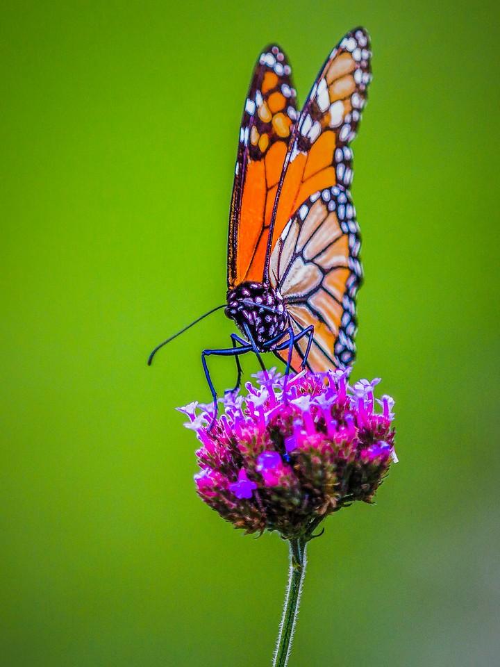 彩蝶,翩翩起舞_图1-10