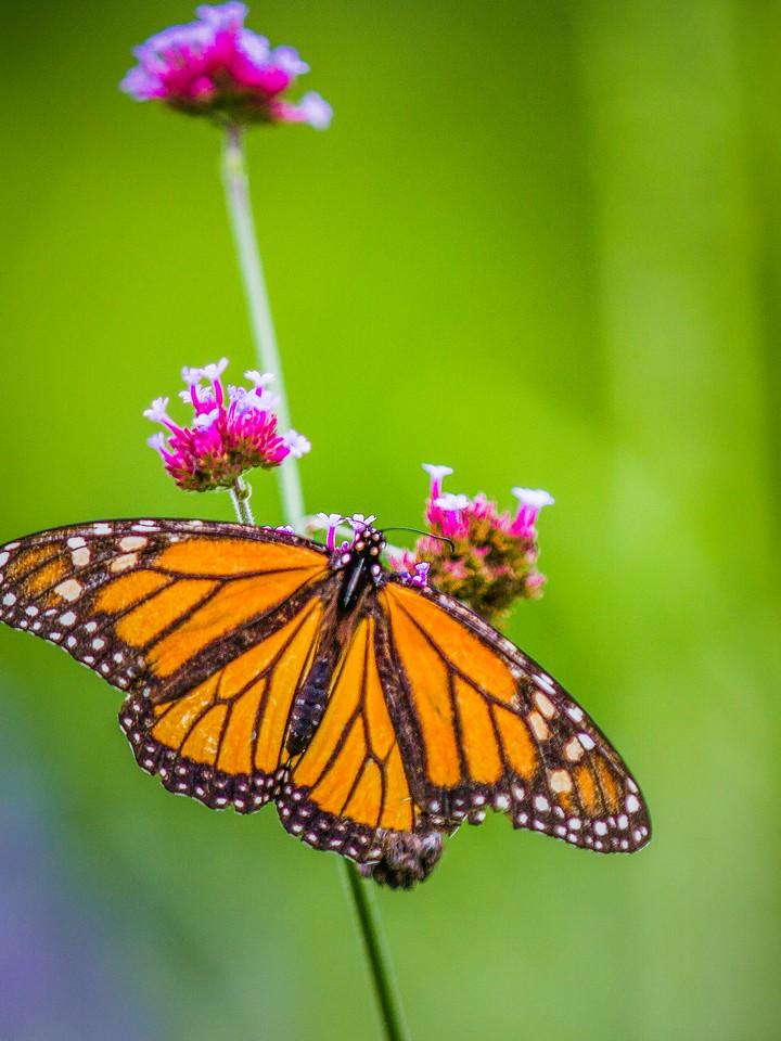 彩蝶,翩翩起舞_图1-4
