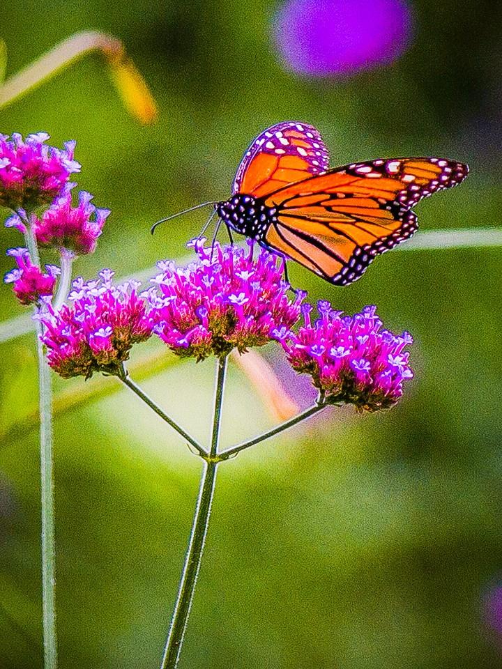 彩蝶,翩翩起舞_图1-8