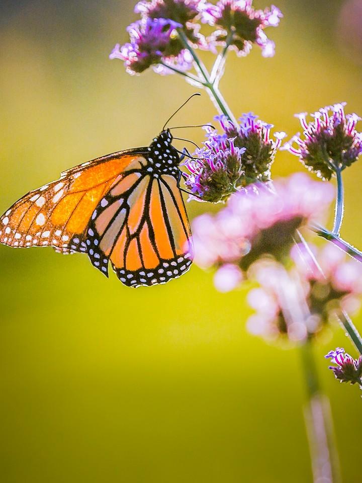 彩蝶,翩翩起舞_图1-11