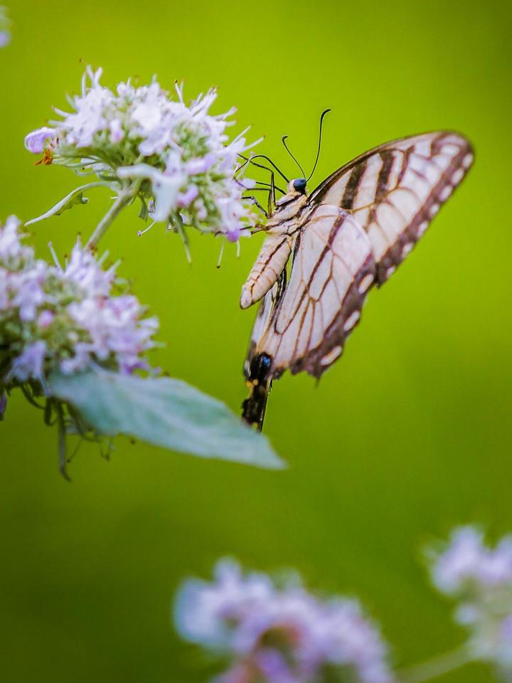 彩蝶,翩翩起舞_图1-5