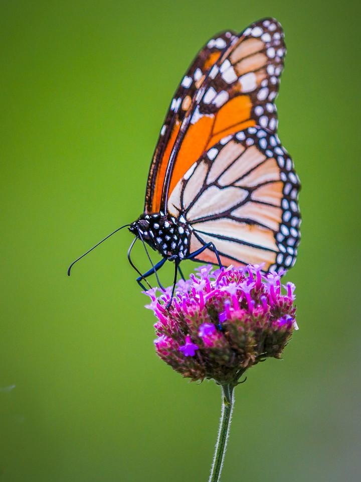 彩蝶,翩翩起舞_图1-2