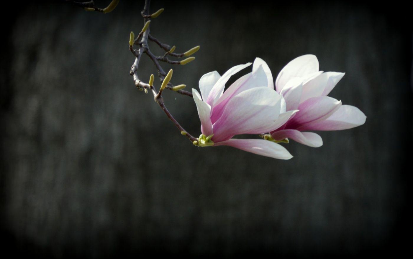 木兰花盛开_图1-15