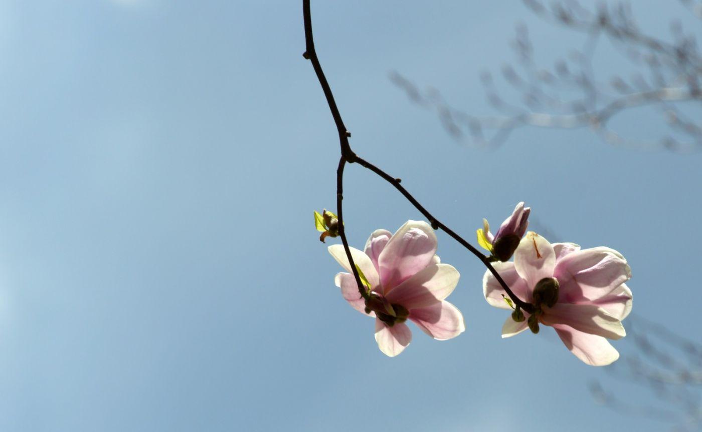 木兰花盛开_图1-19