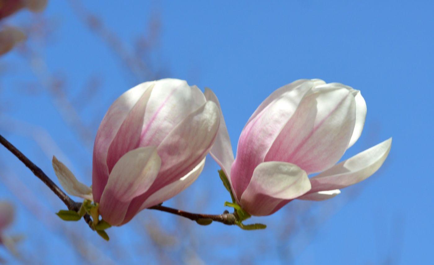木兰花盛开_图1-20