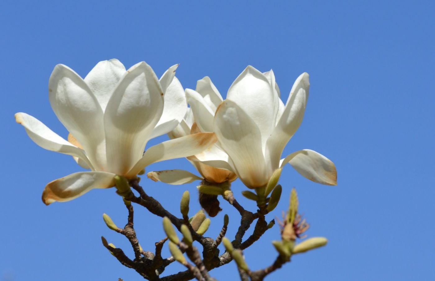 木兰花盛开_图1-22