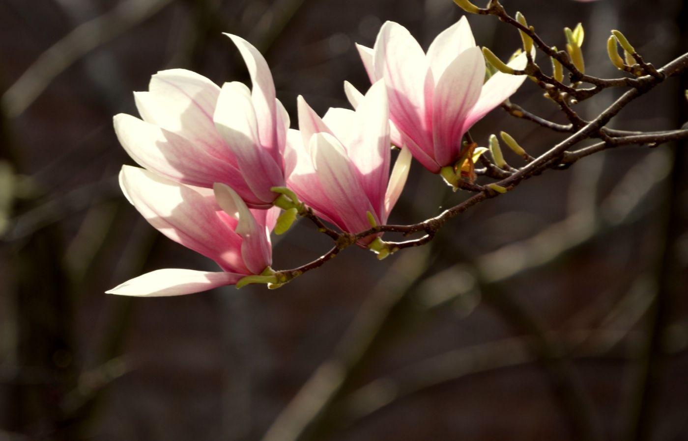 木兰花盛开_图1-25