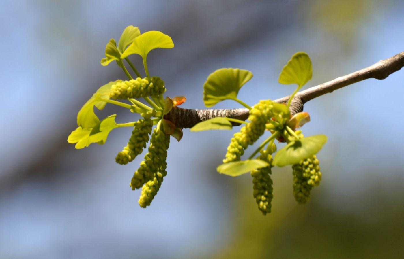 银杏树开花_图1-9