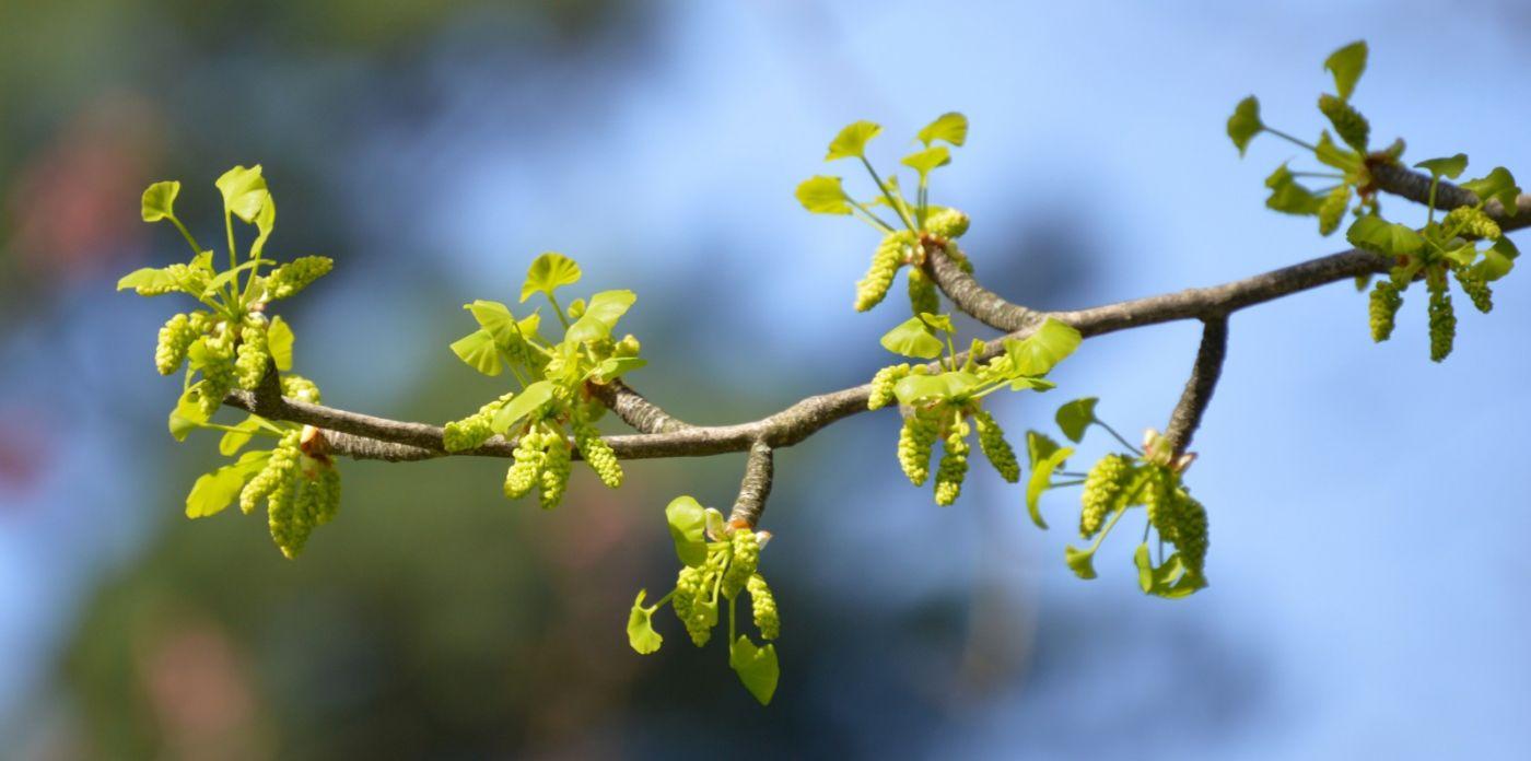 银杏树开花_图1-16
