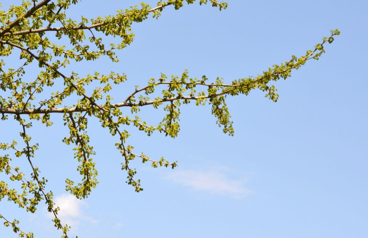 银杏树开花_图1-20