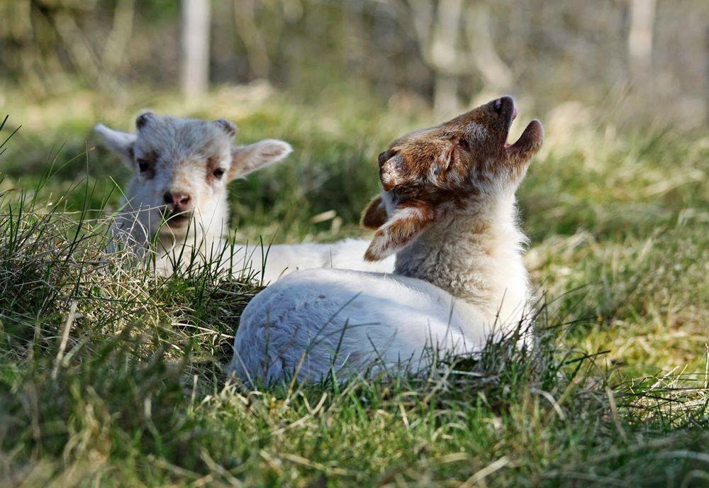 可爱的羔羊_图1-5