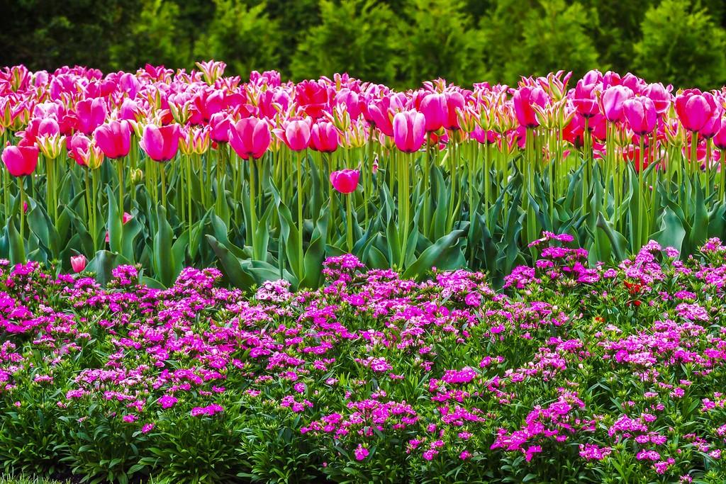 宾州长木公园,盛开的郁金香_图1-7