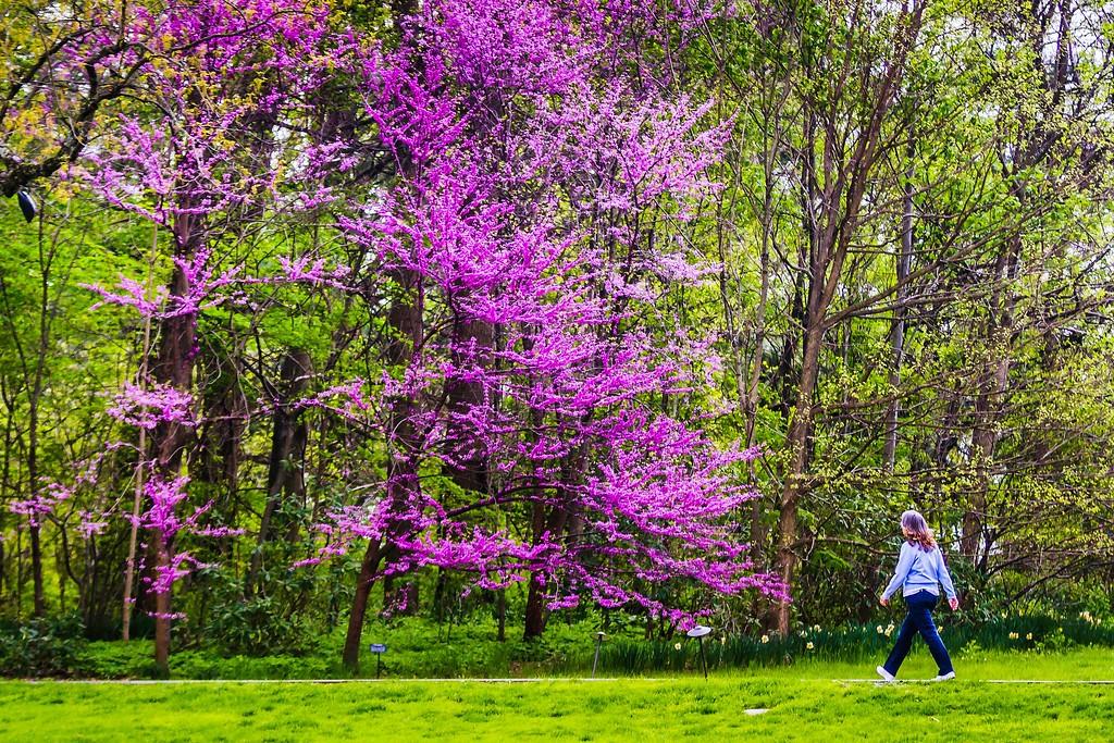 宾州长木公园,盛开的郁金香_图1-6