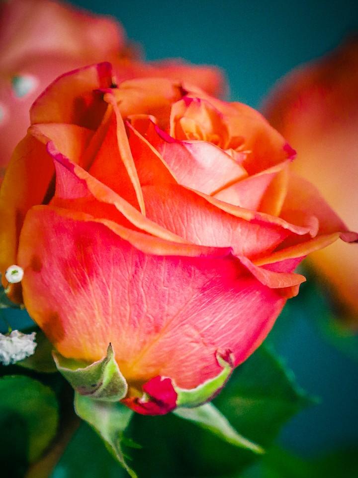 玫瑰花,千言万语_图1-5