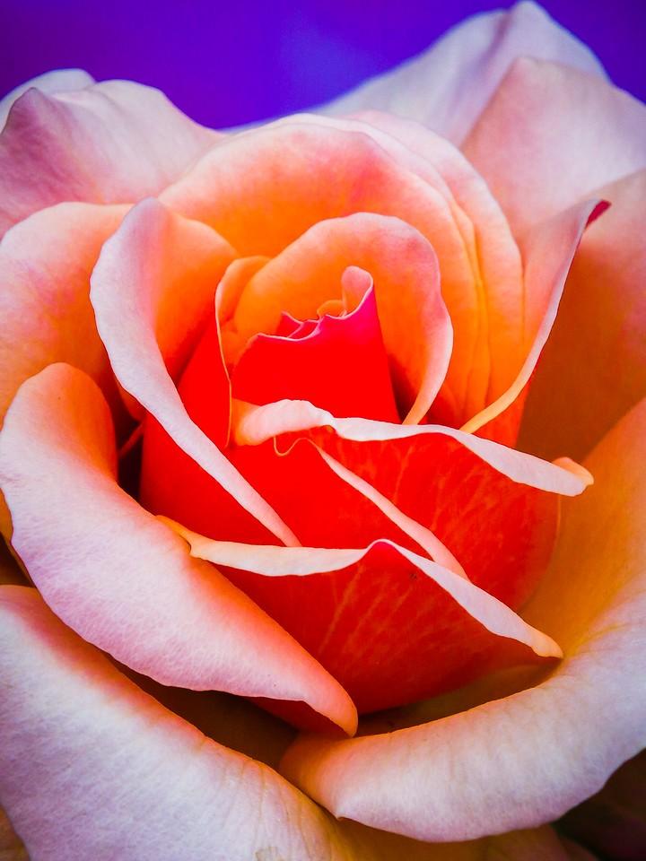 玫瑰花,千言万语_图1-14