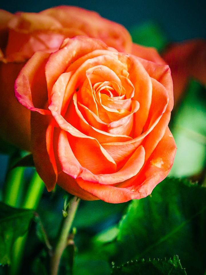 玫瑰花,千言万语_图1-7
