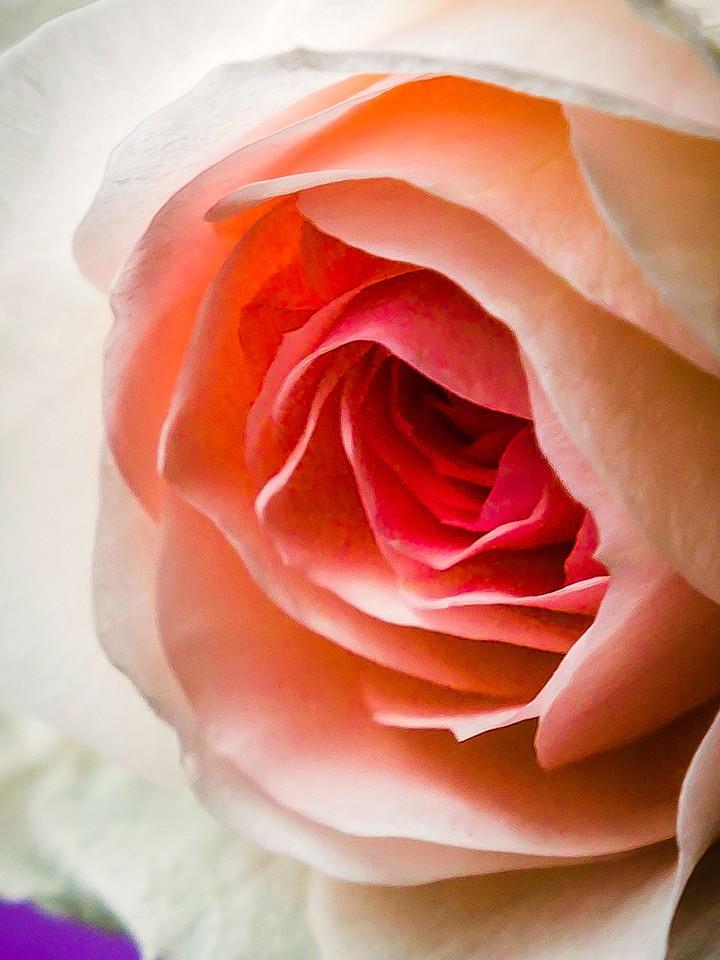 玫瑰花,千言万语_图1-11
