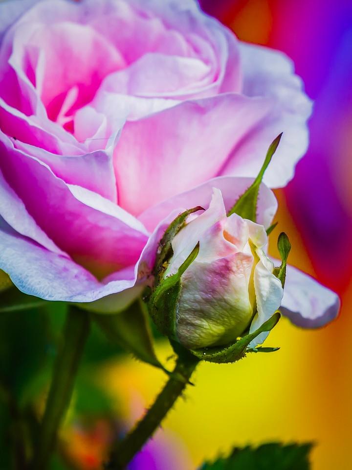 玫瑰花,千言万语_图1-10