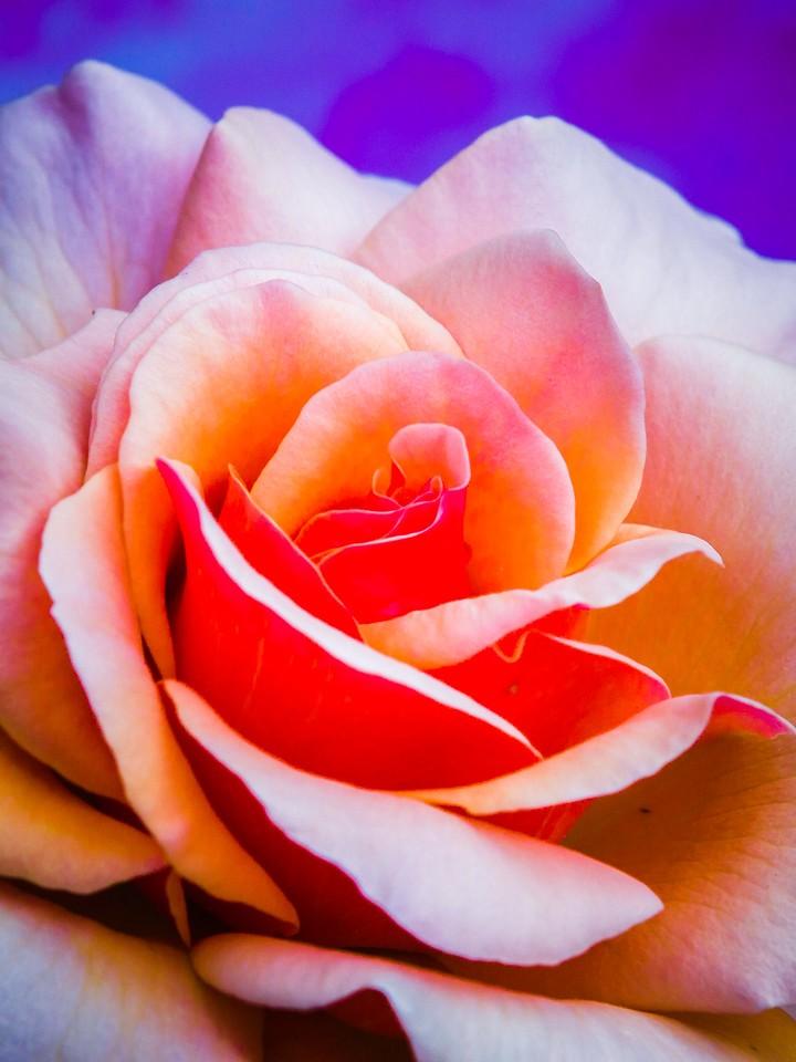 玫瑰花,千言万语_图1-9