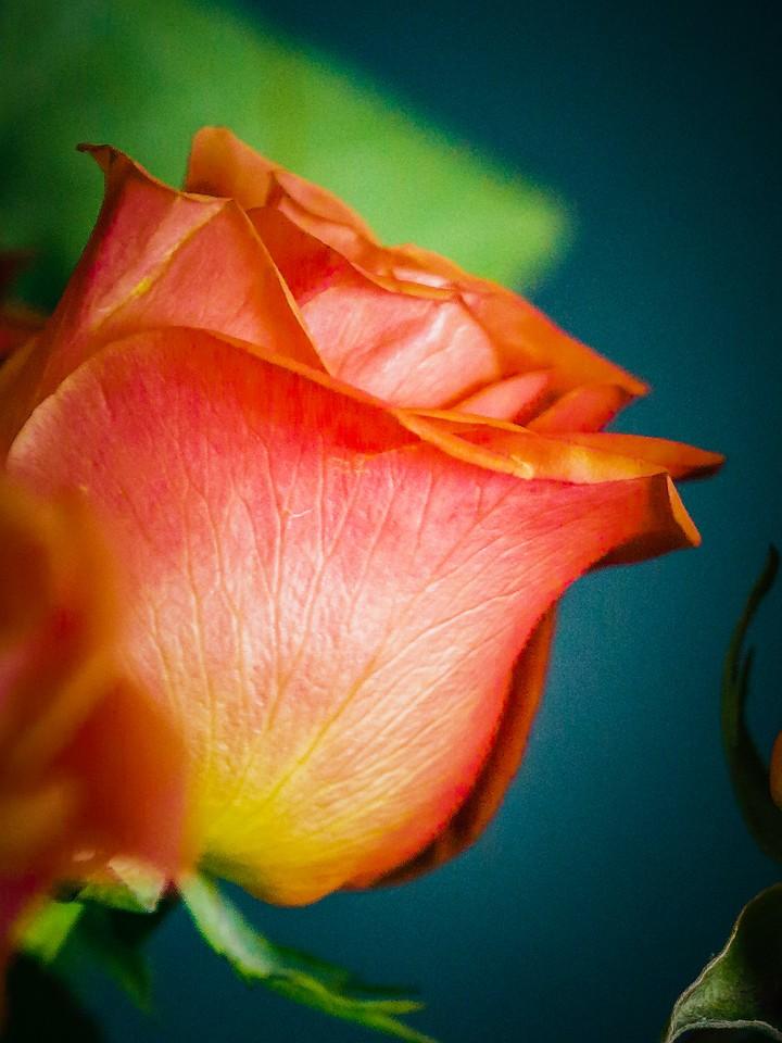 玫瑰花,千言万语_图1-15
