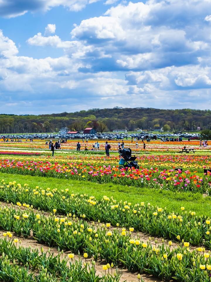 荷兰岭农场(Holland Ridge Farms, NJ),满目郁金香_图1-4