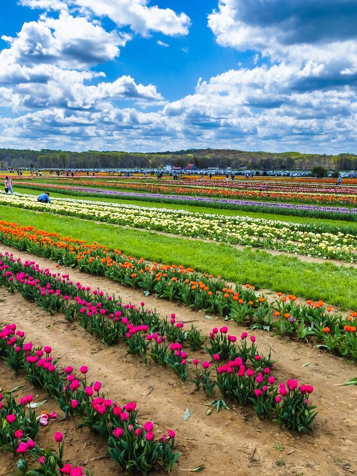 荷兰岭农场(Holland Ridge Farms, NJ),满目郁金香_图1-8