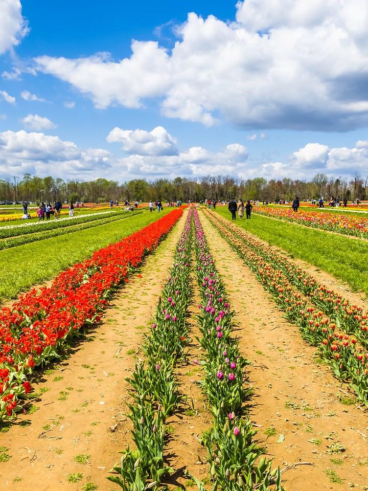 荷兰岭农场(Holland Ridge Farms, NJ),满目郁金香_图1-3