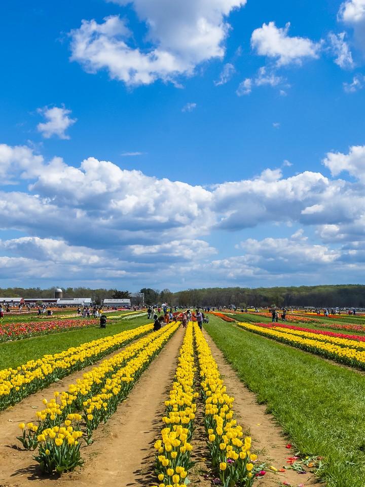 荷兰岭农场(Holland Ridge Farms, NJ),满目郁金香_图1-7