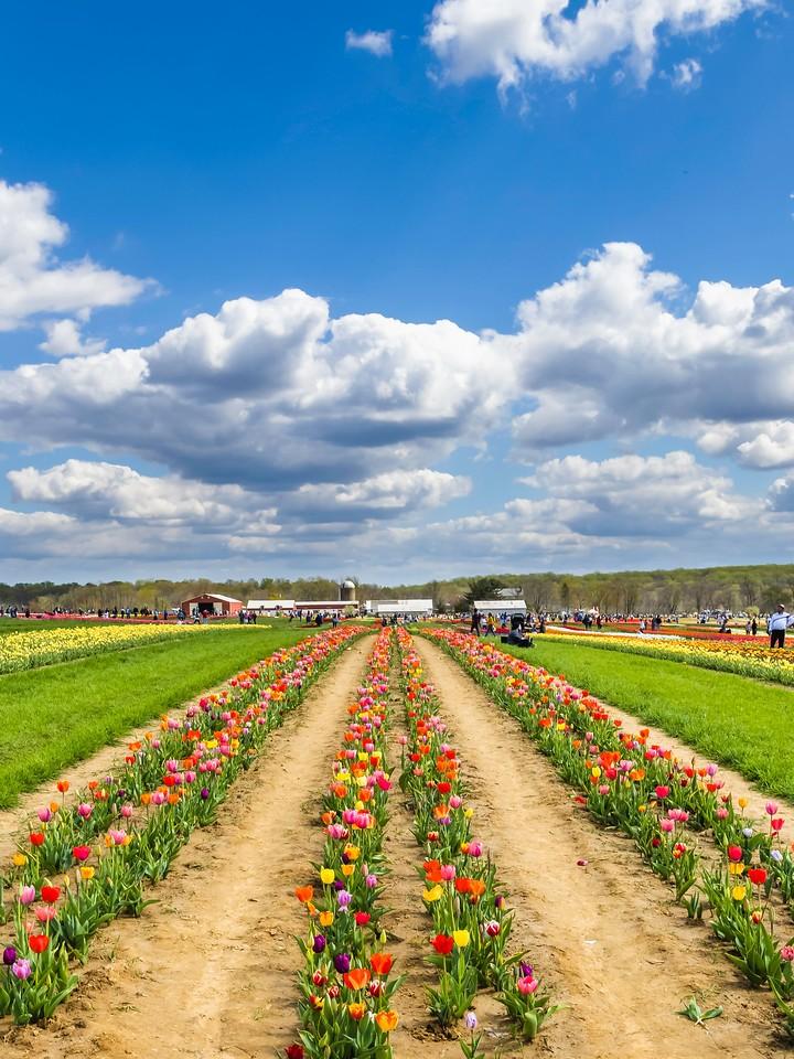 荷兰岭农场(Holland Ridge Farms, NJ),满目郁金香_图1-1