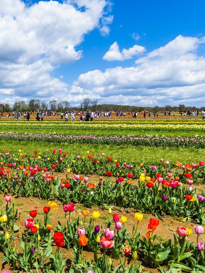 荷兰岭农场(Holland Ridge Farms, NJ),满目郁金香_图1-12
