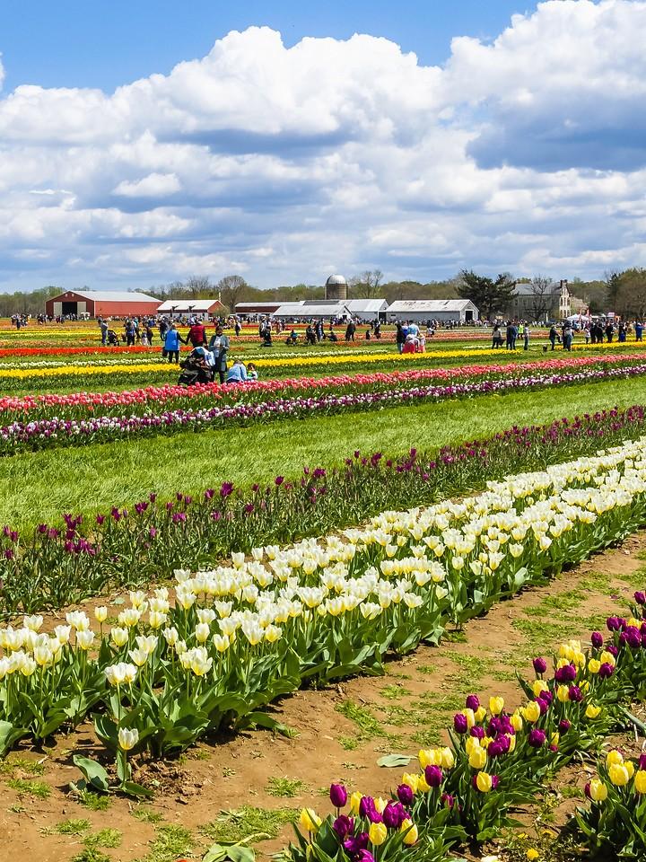 荷兰岭农场(Holland Ridge Farms, NJ),满目郁金香_图1-10