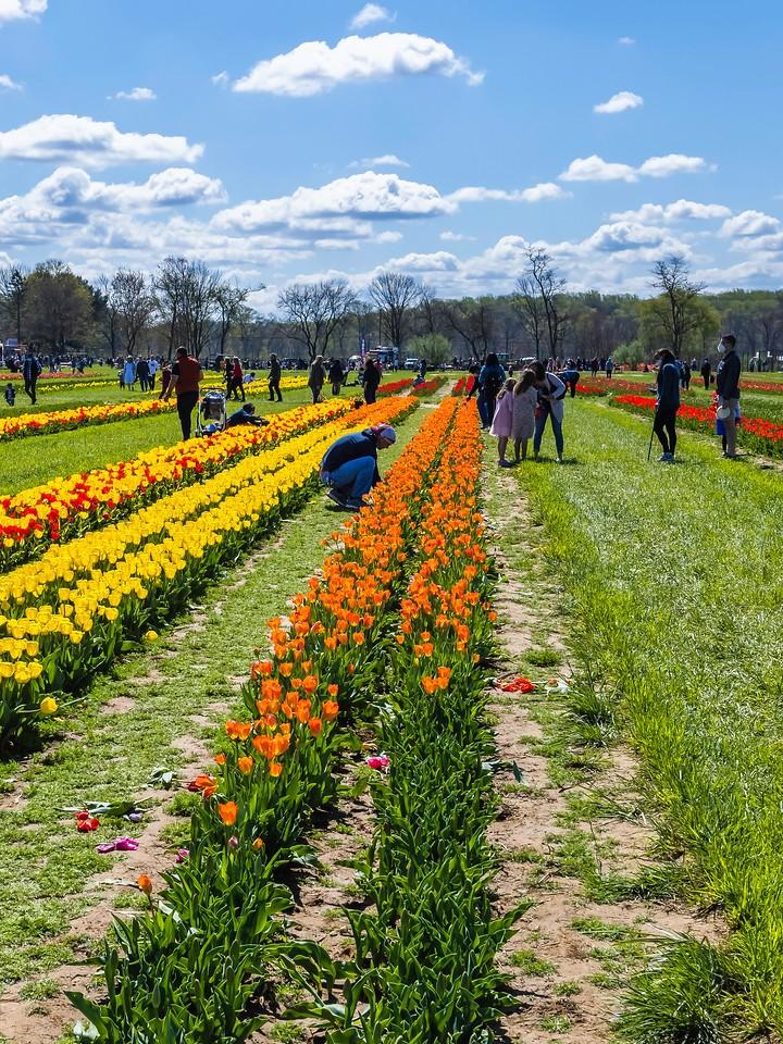 荷兰岭农场(Holland Ridge Farms, NJ),满目郁金香_图1-16