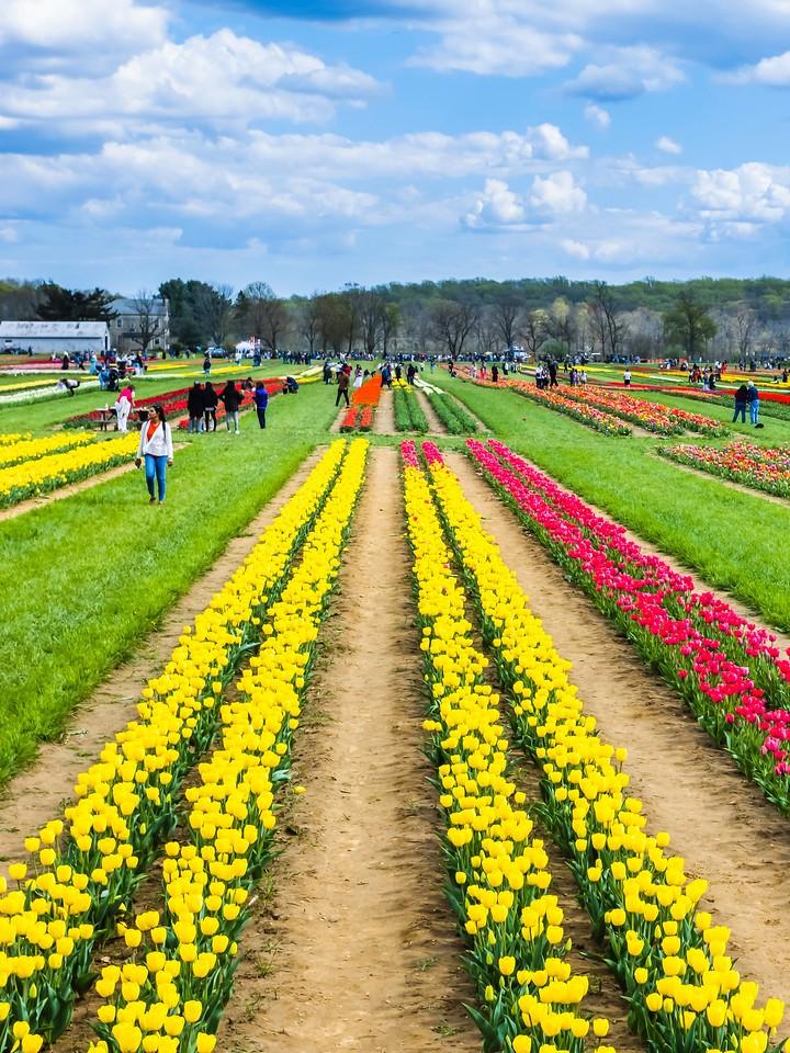荷兰岭农场(Holland Ridge Farms, NJ),满目郁金香_图1-15