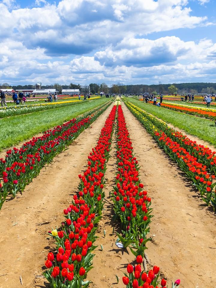 荷兰岭农场(Holland Ridge Farms, NJ),满目郁金香_图1-13