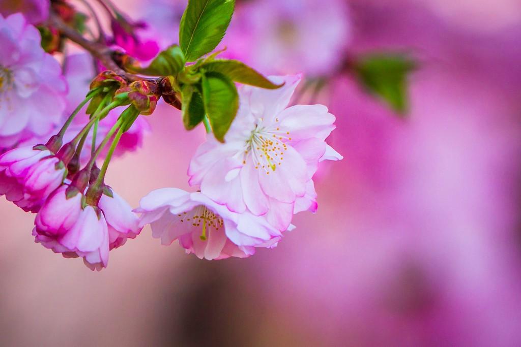 樱花,纯洁高尚_图1-8