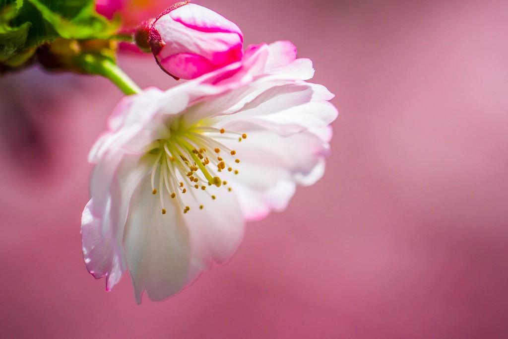 樱花,纯洁高尚_图1-3