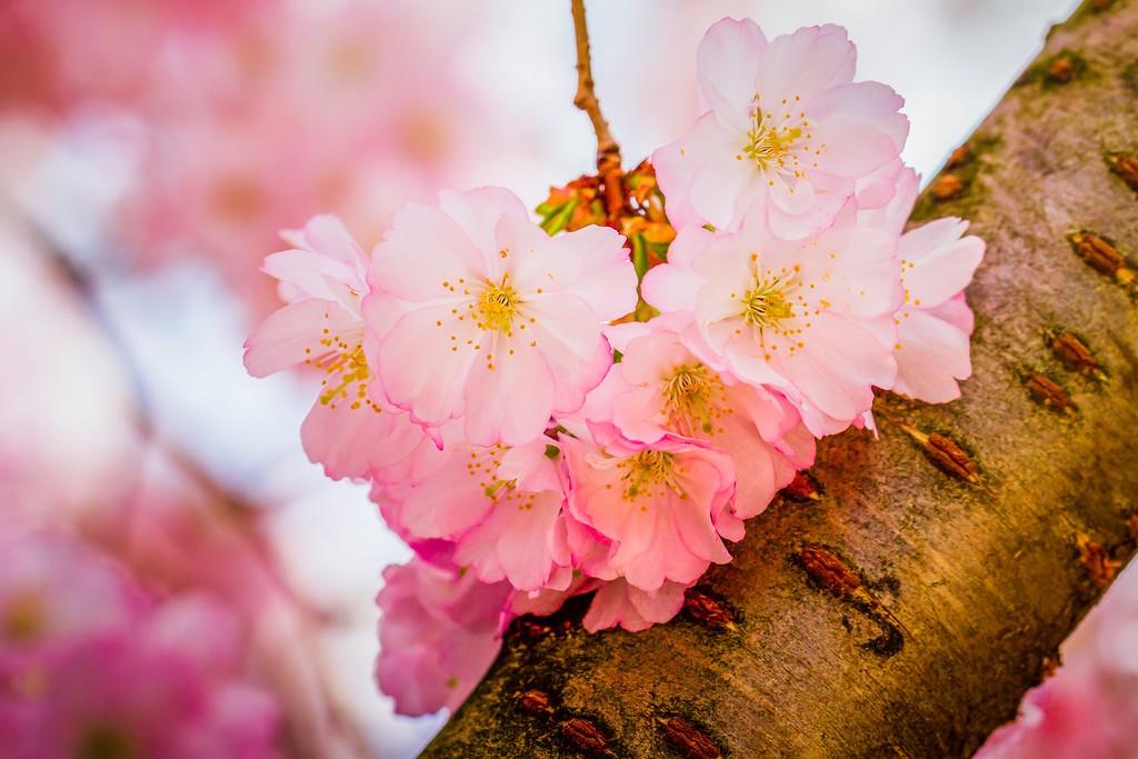 樱花,纯洁高尚_图1-2