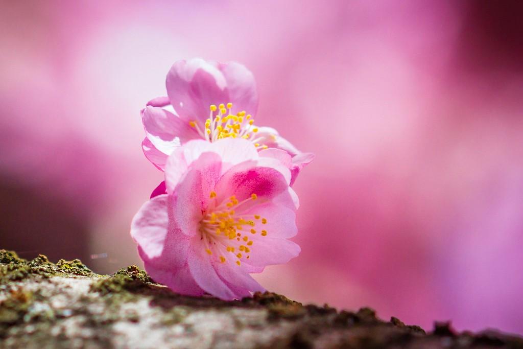 樱花,纯洁高尚_图1-4