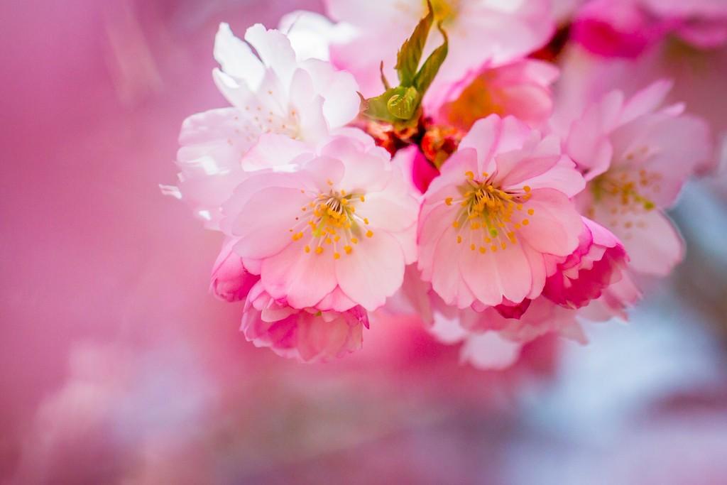 樱花,纯洁高尚_图1-6