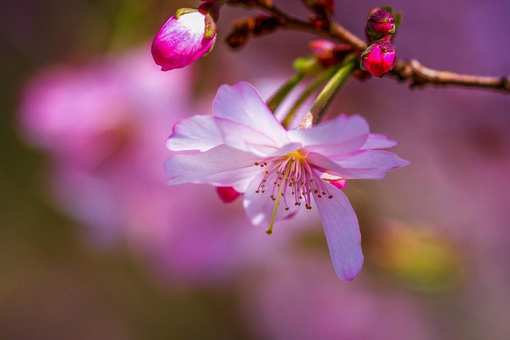 樱花,纯洁高尚_图1-1