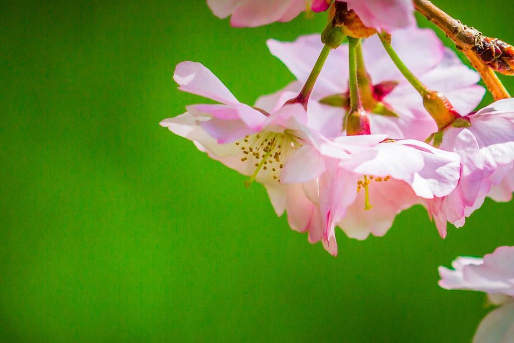 樱花,纯洁高尚_图1-5