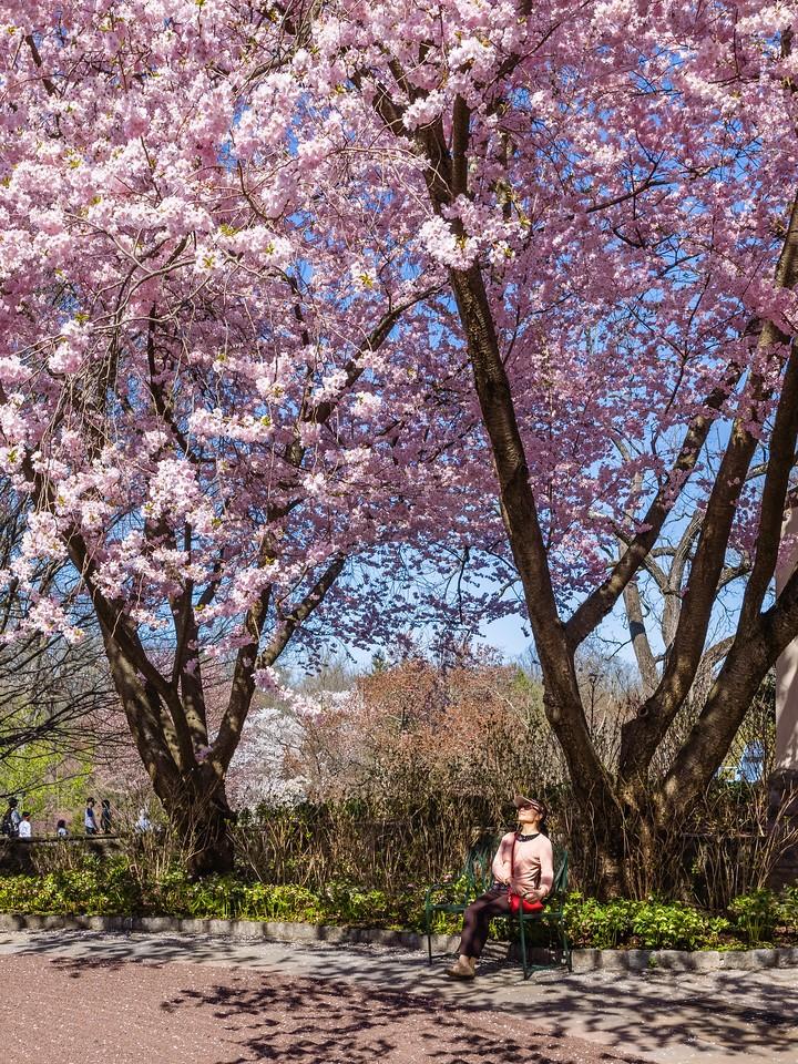 Chanticleer花园,樱花满枝_图1-2