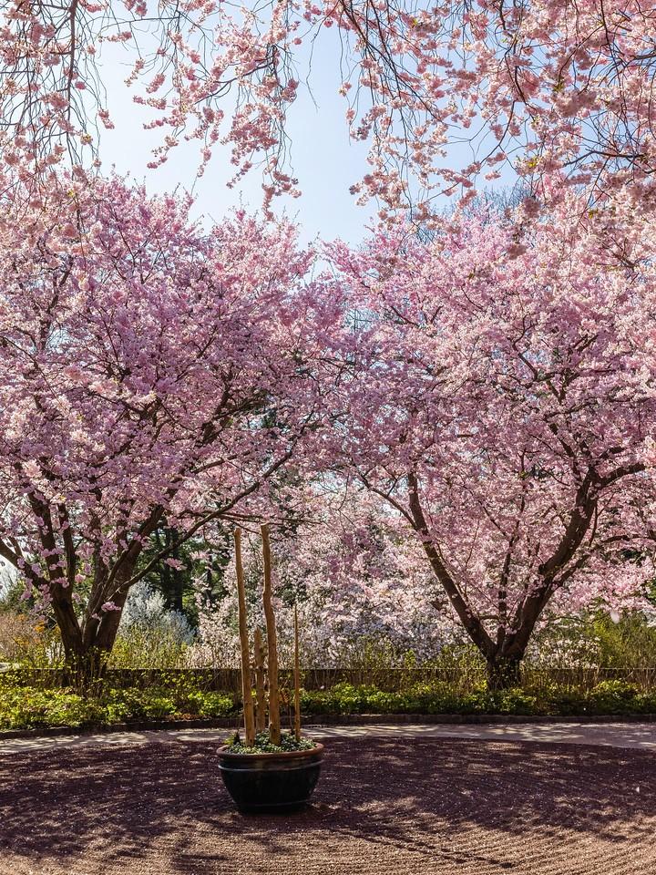 Chanticleer花园,樱花满枝_图1-10